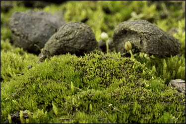 Cornish path moss Bryophytes,bryophyte,moss,mosses,United Kingdom,UK,British,British species,Critically Endangered,plants,endangered plants,endangered plant,Back from the Brink,Cornish path moss,Ditrichum cornubicum,Mo
