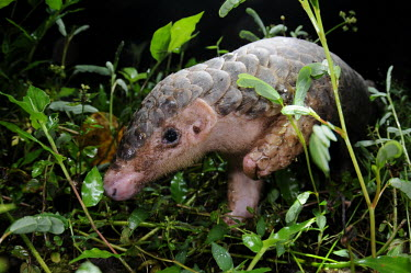 Chinese pangolin profile pangolin,pangolins,face,head,scales,in habitat,scaly mammal,Chinese pangolin,Manis pentadactyla,Mammalia,Mammals,Manidae,Pangolins,Pholidota,Chordates,Chordata,Pangolin De Chine,Pangol�n Chino,Pangoli