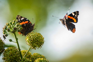 Two red admiral butterflies butterfly,butterflies,insect,insects,invertebrate,invertebrates,antenna,antennae,pair,proboscis,flight,in-flight,flying,wings,wingbeat,flutter,shallow focus,action,motion,admiral,spring,pretty,close u
