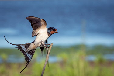 A barn swallow landing on a branch bird,birds,swallow,shallow focus,landing,tail feather,tail,feathers,plumage,close up,flight,wings,in-flight,flying,profile,Barn Swallow,Hirundo rustica,Swallow,Chordates,Chordata,Perching Birds,Passer