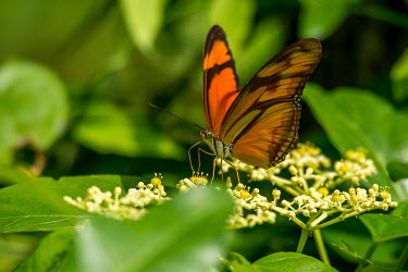 A butterfly feeding on a flower Animalia,Arthropoda,Insecta,Lepidoptera,butterfly,butterflies,insect,insects,invertebrate,invertebrates,antenna,antennae,green background,shallow focus,flower,flowers,pollinator,feeding,wings,orange,p