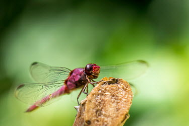 Portrait of a damselfly damselfly,damselflies,insect,insects,invertebrate,invertebrates,Animalia,Arthropoda,Insecta,Odonata,portrait,close up,macro,shallow focus,green background,eyes,colour,colourful,color,colorful,pink