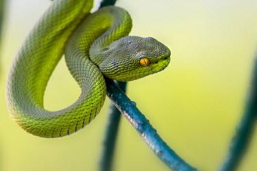 Naga-hill pit viper in tree snake,snakes,reptile,reptiles,vipers,viper,green,green snake,green snakes,Viperidae,Squamata,Reptilia,Naga-hill pit viper,Cryptelytrops erythrurus