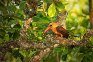 Brown-winged kingfisher perching in tree Kingfishers,kingfisher,bird,birds,birdlife,perched,perching,Brown-winged kingfisher,Pelargopsis amauroptera,Alcedinidae,Chordates,Chordata,Coraciiformes,Rollers Kingfishers and Allies,Aves,Birds,Halcy