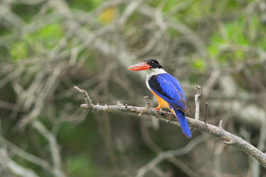 Black-capped kingfisher perching in tree Kingfishers,kingfisher,bird,birds,birdlife,colour,color,colourful,colorful,Black-capped kingfisher,Halcyon pileata,Aves,Birds,Coraciiformes,Rollers Kingfishers and Allies,Chordates,Chordata,Alcedinida