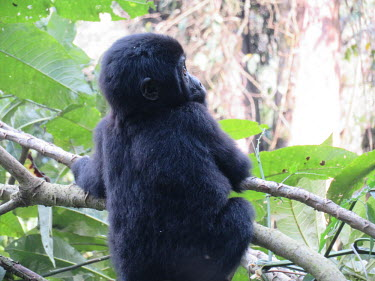 A baby mountain gorilla sitting in a tree Gorilla beringei beringei,mountain gorilla,baby,gorilla,gorillas,ape,great ape,apes,great apes,Africa,forest,forests,rainforest,hominidae,hominids,hominid,primate,primates,babies,young,juvenile,child,