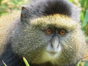 Close up of a blue monkey monkey,monkeys,blue monkeys,face,portrait,eyes,fur,furry,cute,close up,Blue monkey,Cercopithecus mitis,Primates,Mammalia,Mammals,Old World Monkeys,Cercopithecidae,Chordates,Chordata,Sykes' monkey,gold