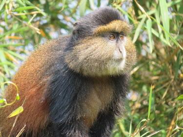 A blue monkey looking into the distance monkey,monkeys,blue monkeys,eyes,fur,furry,coat,close up,Blue monkey,Cercopithecus mitis,Primates,Mammalia,Mammals,Old World Monkeys,Cercopithecidae,Chordates,Chordata,Sykes' monkey,golden monkey,diad