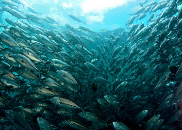 A school of big-eye trevally fish,vertebrates,water,underwater,aquatic,marine,marine life,sea,sea life,ocean,oceans,sea creature,school,jack,jack fish,shoal,group,silvery fish,trevally,blue,swimming,Big-eye trevally,Caranx sexfas