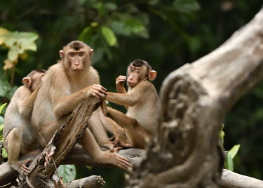 A troop of Sunda pig-tailed macaques sat in a tree monkey,monkeys,primate,primates,arboreal,mammal,mammals,vertebrate,vertebrates,macaque,macaques,tropical,troop,family,looking at camera,Sunda pig-tailed macaque,Macaca nemestrina,Mammalia,Mammals,Chor