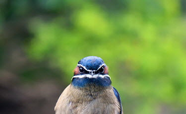 face of a whiskered treeswift Whiskered treeswift,treeswift,tree swift,swift,swifts,Animalia,Chordata,Aves,Caprimulgiformes,Hemiprocnidae,Hemiprocne comata,bird,birds,green background,negative space,close up,shallow focus,portrait