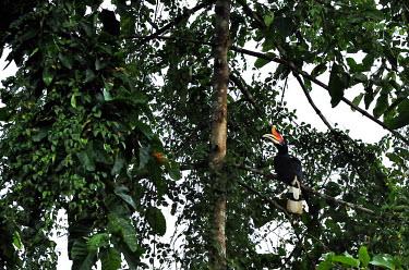 Rhinoceros hornbill perching in the canopy hornbill,hornbills,tropical,tropical forest,rainforest,jungle,jungles,bill,adaptation,bird,birds,canopy,Rhinoceros hornbill,Buceros rhinoceros,Aves,Birds,Bucerotidae,Hornbills,Chordates,Chordata,Corac