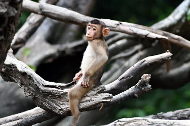 Baby Sunda pig-tailed macaque sat in a tree, rodeo style monkey,monkeys,primate,primates,arboreal,mammal,mammals,vertebrate,vertebrates,macaque,macaques,tropical,baby,young,juvenile,cute,Sunda pig-tailed macaque,Macaca nemestrina,Mammalia,Mammals,Chordates,