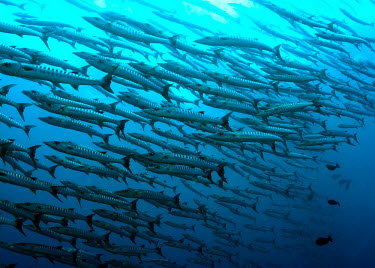 A school of barracuda, also know as a battery fish,vertebrates,water,underwater,aquatic,marine,marine life,sea,sea life,ocean,oceans,sea creature,school,barracuda,shoal,group,predator,blue,swimming,Blackfin barracuda,Sphyraena qenie,Chordates,Cho