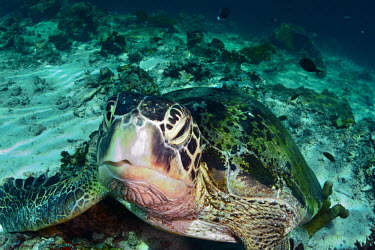 Close up of a green turtle off the coast of Borneo turtle,turtles,shell,cold blooded,reptile,reptiles,marine,marine life,sea,sea life,ocean,oceans,water,underwater,aquatic,sea creature,beak,face,reef,coral reef,sea floor,close up,Green turtle,Chelonia