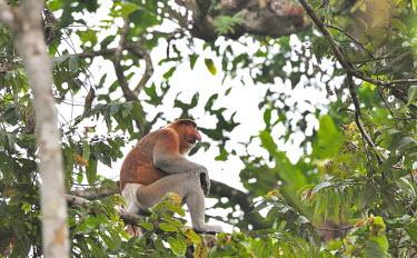 An adult male proboscis monkey sitting in the canopy of tropical forest proboscis,monkey,monkeys,primate,primates,arboreal,mammal,mammals,vertebrate,vertebrates,nose,big nose,face,male,canopy,forest,tropical forest,jungle,jungles,grumpy,sad,Proboscis monkey,Nasalis larvat