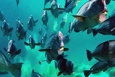 A school of humphead parrotfish depositing recently digested coral fish,vertebrates,water,underwater,aquatic,marine,marine life,sea,sea life,ocean,oceans,sea creature,school,parrotfish,parrot fish,shoal,group,swimming,beak,teeth,Humphead parrotfish,Bolbometopon muric