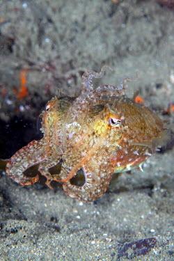 Close up of a common cuttlefish Cephalopod,mollusc,tentacles,invertebrate,invertebrates,water,underwater,aquatic,marine,marine life,sea,sea life,ocean,oceans,sea creature,close up,tentacle,eyes,pupil,pupils,Common cuttlefish,Sepia o