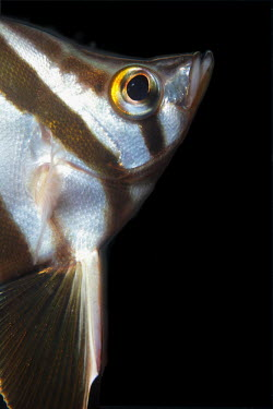 Old wife, named by fisherman due to chattering sound made fish,vertebrates,water,underwater,aquatic,marine,marine life,sea,sea life,ocean,oceans,sea creature,portrait,face,eye,black background,old wife,zebrafish,moonlighter,bastard dory,Australia,native,Old