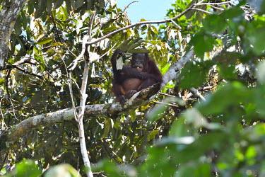 A young Bornean orangutan sitting in the canopy of tropical forest orangutan,ape,great ape,apes,great apes,primate,primates,jungle,jungles,forest,forests,rainforest,hominidae,hominids,hominid,Asia,fur,hair,orange,ginger,mammal,mammals,vertebrate,vertebrates,arboreal,