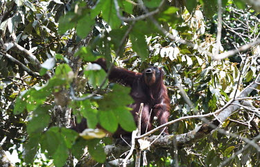 An adult Bornean orangutan sitting in the canopy of tropical forest orangutan,ape,great ape,apes,great apes,primate,primates,jungle,jungles,forest,forests,rainforest,hominidae,hominids,hominid,Asia,fur,hair,orange,ginger,mammal,mammals,vertebrate,vertebrates,arboreal,