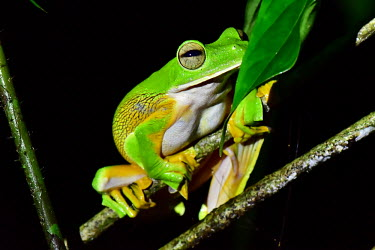 A brightly coloured flying frog  perched on a branch Abah River flying frog,Wallace's flying frog,Animalia,Chordata,Amphibia,Anura,Rhacophoridae,Rhacophorus nigropalmatus,flying frog,colourful,black background,amphibian,amphibians,amphibious,permeable,p