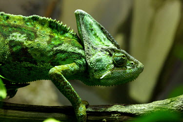 Veiled Chameleon climbing along a branch chameleon,chameleons,pattern,crypsis,skin,pigment,pigmentation,colourful,scales,scaly,reptile,reptiles,tropical,head,crown,big head,green,bright green,eyes,eye,camouflage,camouflaged,shallow focus,vei