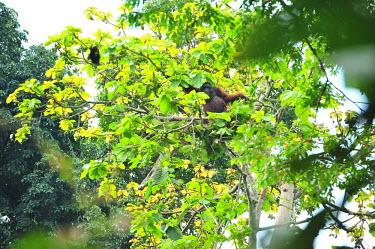 An adult Bornean orangutan sitting in a mango tree orangutan,ape,great ape,apes,great apes,primate,primates,jungle,jungles,forest,forests,rainforest,hominidae,hominids,hominid,Asia,fur,hair,orange,ginger,mammal,mammals,vertebrate,vertebrates,arboreal,