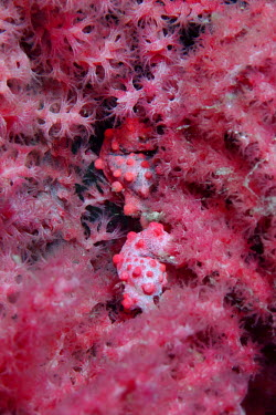 Pygmy seahorse camouflaged in soft coral crab,crabs,crustacean,crustaceans,exoskeleton,claw,claws,reef,reef life,Animalia,Arthropoda,Crustacea,marine,marine life,sea,sea life,ocean,oceans,water,underwater,aquatic,sea creature,shell,hermit,he