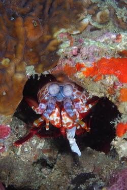Peacock mantis shrimp hiding in a crevice nudibranch,nudibranchs,gastropod,gastropods,mollusc,molluscs,reef,reef life,Animalia,Mollusca,Gastropoda,marine,marine life,sea,sea life,ocean,oceans,water,underwater,aquatic,sea creature,purple,orang
