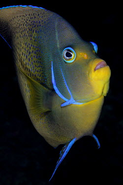 Portrait of a semicircle angelfish fish,vertebrates,water,underwater,aquatic,marine,marine life,sea,sea life,ocean,oceans,sea creature,Semicircle Angelfish,Half-circled Angelfish,Koran Angelfish,Animalia,Chordata,Actinopterygii,Percifo