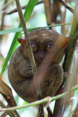 Philippine tarsier hiding in foliage mammal,mammals,vertebrate,vertebrates,terrestrial,fur,furry,tarsier,arboreal,cute,big eyes,primate,primates,mamag,Philippine tarsier,Tarsius syrichta,Primates,Mammalia,Mammals,Chordates,Chordata,Tarsi
