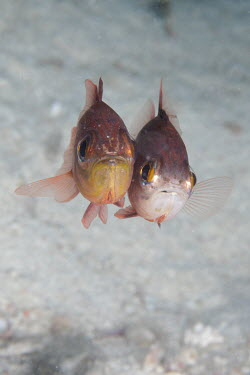 Cardinalfish couple fish,vertebrates,water,underwater,aquatic,marine,marine life,sea,sea life,ocean,oceans,sea creature,cardinal fish,pair,couple,together,close up,friends,cute,hug,Cardinalfish