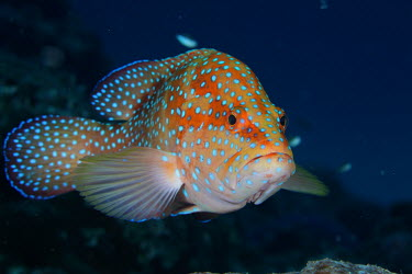 Profile of a coral grouper fish,vertebrates,water,underwater,aquatic,marine,marine life,sea,sea life,ocean,oceans,sea creature,spots,spotty,spotted,pattern,patterned,patterns,blue,colours,colourful,shallow focus,fins,pectoral f