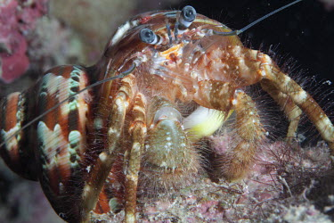 Common hermit crab filter feeding crab,crabs,crustacean,crustaceans,exoskeleton,claw,claws,reef,reef life,Animalia,Arthropoda,Crustacea,marine,marine life,sea,sea life,ocean,oceans,water,underwater,aquatic,sea creature,hermit crab,clo