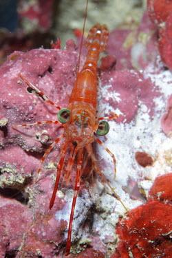 Shrimp sat on coral shrimp,shrimps,crustacean,crustaceans,exoskeleton,claw,claws,reef,reef life,Animalia,Arthropoda,Crustacea,marine,marine life,sea,sea life,ocean,oceans,water,underwater,aquatic,sea creature,close up,bi