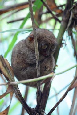 Philippine tarsier hiding in foliage mammal,mammals,vertebrate,vertebrates,terrestrial,fur,furry,tarsier,arboreal,cute,big eyes,primate,primates,mamag,tarsiers,Philippine tarsier,Tarsius syrichta,Primates,Mammalia,Mammals,Chordates,Chord