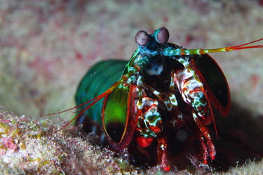 Close up of a peacock mantis shrimp shrimp,shrimps,crustacean,crustaceans,exoskeleton,claw,claws,reef,reef life,Animalia,Chordata,Arthropoda,Crustacea,Malacostraca,Stomatopoda,Odontodactylidae,Odontodactylus,Odontodactylus scyllarus,mar