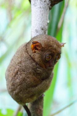 Philippine tarsier resting in a tree mammal,mammals,vertebrate,vertebrates,terrestrial,fur,furry,tarsier,arboreal,cute,big eyes,primate,primates,mamag,Philippine tarsier,Tarsius syrichta,Primates,Mammalia,Mammals,Chordates,Chordata,Tarsi
