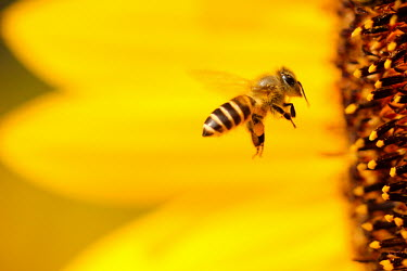 Honey bee flying toward a sunflower bee,bees,honeybees,honeybee,insect,insects,invertebrate,invertebrates,nectar,flower,flowers,pollen,pollinator,striped,stripy,flying,flight,in-flight,action,yellow,sunflower,Honey bee,Apis mellifera,Sa