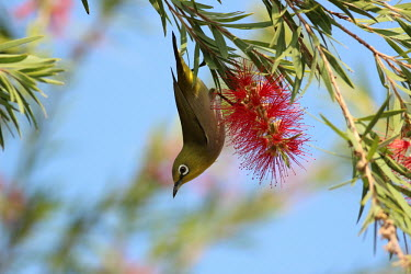 Japanese white-eye hanging upside down Japanese white-eye,Animalia,Chordata,Aves,Passeriformes,Zosteropidae,Zosterops,Zosterops japonicus,bird,birds,flower,tree,shallow focus,close up