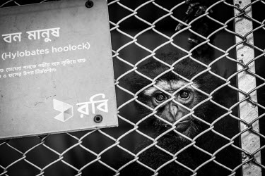 A captive Western hoolock gibbon destined to spend his life behind the bars of his cage gibbon,caged,zoo,enclosure,trapped,fence,sad,captive,innocent,black and white,monkey,monkeys,primate,primates,arboreal,mammal,mammals,vertebrate,vertebrates,Western hoolock gibbon,Hoolock hoolock,Mamm