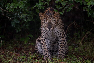 Portrait of a leopard resting on the edge of forest cat,big cat,feline,felidae,predator,carnivore,portrait,forest,looking at camera,face,Leopard,Panthera pardus,Chordates,Chordata,Felidae,Cats,Mammalia,Mammals,Carnivores,Carnivora,Pantera,L�opard,Panth