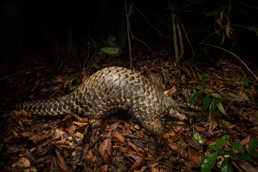 Giant male Chinese pangolin scales,scaly mammal,mammal,pangolin,leaf litter,forage,foraging,armoured,night time,nocturnal,night,dark,Chinese pangolin,Manis pentadactyla,Mammalia,Mammals,Manidae,Pangolins,Pholidota,Chordates,Chor