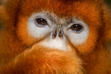 A captive, rare golden snub-nosed monkey looking thoughtful jungle,tropical,tropics,arboreal,captive,close up,emotion,eyes,face,pensive,portrait,rare,red,snub-nosed,monkey,orange,nose,monkeys,primate,primates,mammal,mammals,vertebrate,vertebrates,Golden snub-n