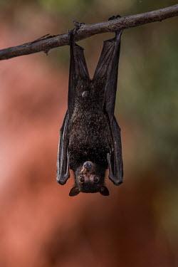 Juvenile black flying fox day,desert,hanging,resting,roosting,upside down,bat,fruit bat,flying fox,black fruit bat,close up,shallow focus,male,Black flying fox,Pteropus alecto,Chiroptera,Bats,Chordates,Chordata,Pteropodidae,Ma