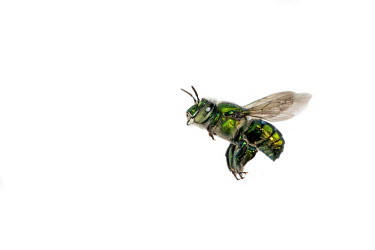 Dilemma orchid bee in flight Dilemma orchid bee,green orchid bee,Animalia,Insecta,Hymenoptera,Apidae,Euglossa,Euglossa dilemma,flying,in flight,macro,orchid bee,bee,close up,male,wings,negative space,white background,green,metall