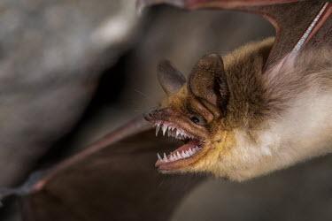 Mexican fishing bat showing its long sharp teeth bat,bats,mammal,mammals,winged mammal,winged,flying mammal,Mexican fishing bat,fishing bat,close up,shallow focus,face,mouth,open mouth,teeth,jaw,macro,ears,scary,Halloween,screech,fangs,Fish-eating m