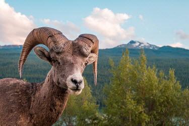 Rocky Mountain bighorn sheep ram posing in the Jasper National Park, Canada big horn,male,rack,ram,sheep,strength,strong,horns,horned,ungulate,shallow focus,landscape,forest,wilderness,wild,head,Bighorn sheep,Ovis canadensis,Chordates,Chordata,Mammalia,Mammals,Bovidae,Bison,