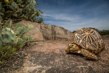 Indian star tortoise foraging in the morning light Animalia,Chordata,Reptilia,Testudines,Testudinidae,Geochelone elegans,Indian star tortoise,reptile,tortoise,shell,cold blooded,reptiles,pattern,patterned,macro,close up,shallow focus